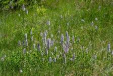 Jungfru Marie nycklar, Dactylorhiza maculata, Edsleskog 2020-06-26