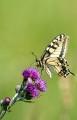 Makaon,Papilio machaon, Edsleskog 2020-06-26