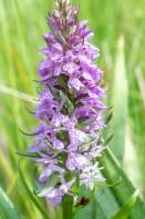Englandsnycklar, Dactylorhiza majalis subsp. integrata var.junialis, Lidköping 2020-06-29