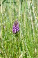 Englandsnycklar, Dactylorhiza majalis subsp. integrata Lidköping 2020-06-29