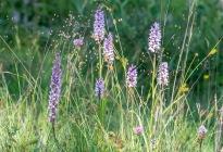 Brudsporre, Gymnadenia conopsea, och skogsnyckel, Dactylorhiza fuchsii, Kinnekulle 2020-06-29