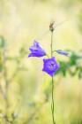 Stor blåklocka, Campanula persicifolia, Kinnekulle 2020-06-29