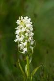 Vaxnyckel, Dactylorhiza incarnata ssp. ochroleuca, Skogatorpskärret 2020-07-01