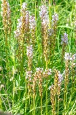 Brudsporre, Gymnadenia conopsea, Skogatorpskärret 2020-07-01