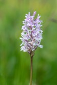 Jungfru Marie nycklar, Dactylorhiza maculata, Skogatorpskärret 2020-07-01