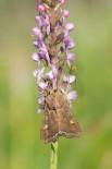 Gymnadenia odoratissima och Grönsaksfly, Lacanobia oleracea