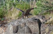 Pilgrimsfalk, unge, prövar vingarna