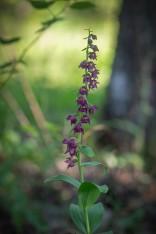 Purpurknipprot, Epipactis atrorubens, Trollhättan 2020-07-10