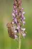 Gymnadenia odoratissima Skogatorp, Falköping, 2020-07-01. Pollineras av grönsaksfly