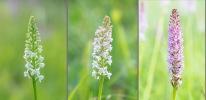 Gymnadenia odoratissima Skogatorp, Falköping, 2020-07-01. Färgvariation