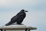 Råka / Rook/ Corvus frugilegus
