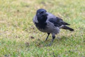 Kråka/Corvus cornix/Hooded Crow