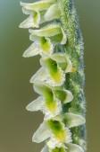 Skruvax Spiranthes spiralis 2020-09-27