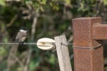 Entita / Marsh Tit / Poecile palustris, Öland2020-09-27