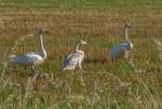 Sångsvan / Whooper Swan / Cygnus cygnus Skaraborg 2020-08-31