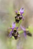 Ophrys ceto, Lesvos (Gr.) 2015-05-17