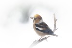 Stenknäck / Hawfinch / Coccothraustes coccothraustes