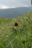 Gymnadenia rhellicani, Val Venegia, Italy 2004-06-24