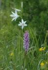 Brudsporre, Gymnadenia conopsea, Monte Bondone (It.) 2004-06-22