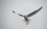 Gråtrut, European Herring Gull, Larus argentatus