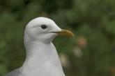 Fiskmås, Common Gull, Larus canus