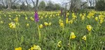 St. Pers nycklar + gullvivor, Orchis mascula subsp. mascula + Primula veris