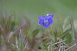 Ängsviol, Viola canina