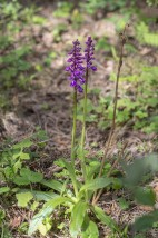 Sankt Pers nycklar Orchis mascula subsp. mascula