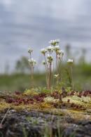 Mandelblom, Saxifraga granulata