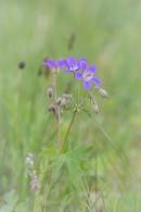 Midsommarblomster, Geranium sylvaticum