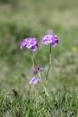 Majviva, Primula farinosa