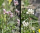 Kattfot, Antennaria dioica