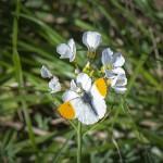 Adonisfjäril på typisk blomma för arten, ängsbräsma.