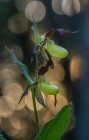 Guckusko Cypripedium calceolus,  2021-06-03