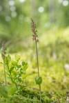 Spindelblomster, Neottia cordata