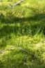 Corallorhiza trifida, Ulricehamn 2021-06-13