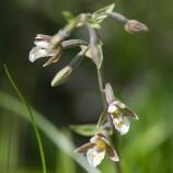 Kärrknipprot, Epipavtis palustris