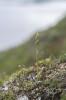 Platanthera obtusata, Abisko 2021-07-07
