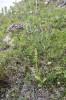 Pseudorchis albida subsp. straminea, Abisko, 2021-07-07