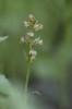 Dactylorhiza viridis, Abisko, 2021-07-07