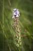 Dactylorhiza maculata subsp. maculata, Hunneberg 2021-08-25