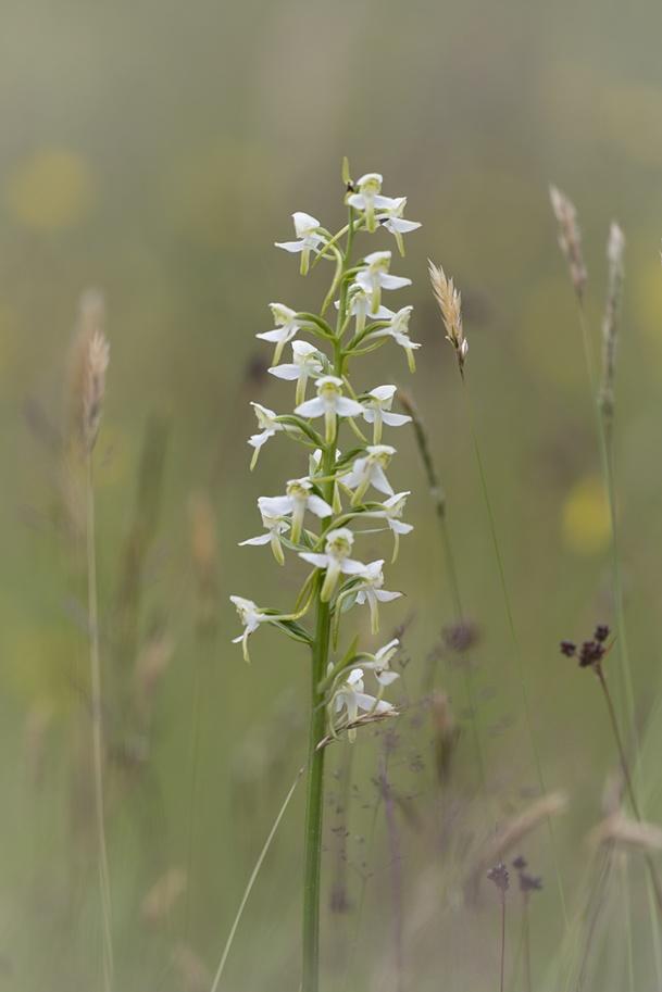 Grönvit nattviol, Platanthera clorantha 2021-07- 01