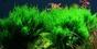 Flame moss
