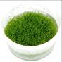 Riccia fluitans - Riccia fluitans, portion 1 dl