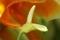 Anubias blommar
