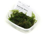 Taiwan Moss - Taiwan Moss - PerfectAqua