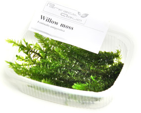 Willow moss - Willow moss, PerfectAqua