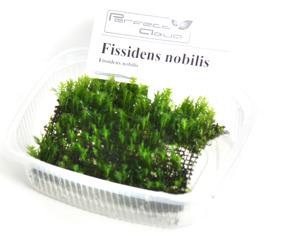 Fissidens nobilis - Fissidens nobilis, PÅ NÄT