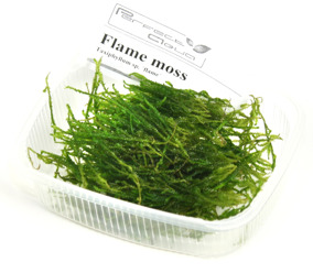 Flame moss - Flame moss, PerfectAqua