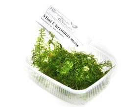 Mini christmas moss - Mini christmas moss, Vesicularia sp